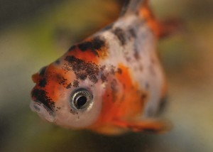 close-up of a calico fantail goldfish