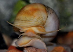 close-up of Apple Snail
