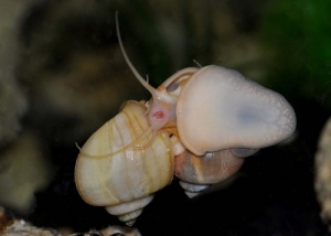 Apple Snails mating