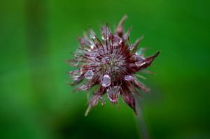 Wet Water Avens