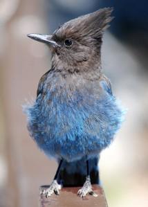 blue jay on a fence rail
