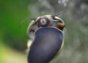 "Macro photo of snail on glass, showing ""teeth"""