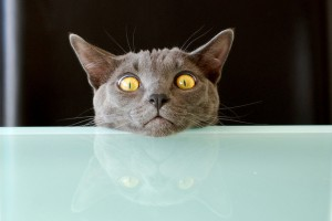 Cat staring, reflected in tabletop