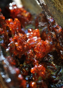red sap oozing from a tree, up clsoe