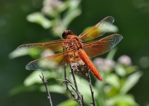Red Skimmer dragonfly, up close