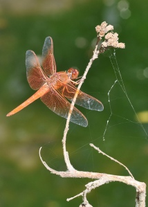 Red Skimmer dragonfly on a dry stem