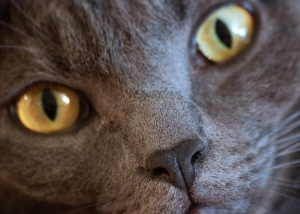 Close-up of a cat's face, taken with a D90