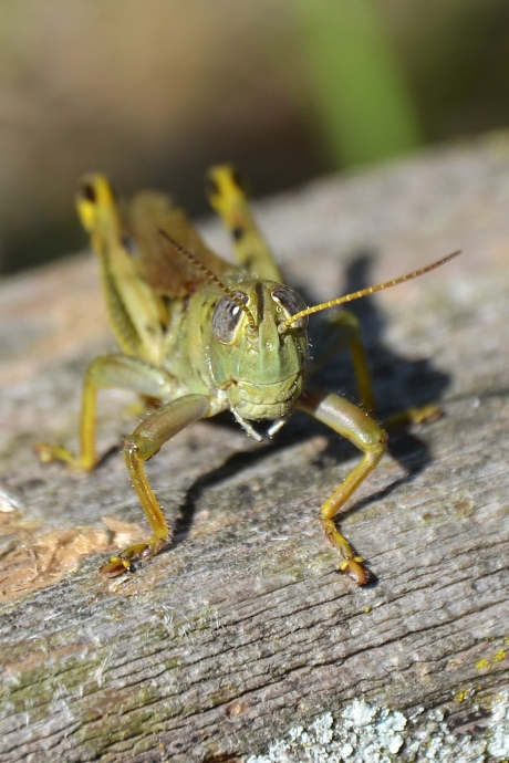 Macro photo of a grasshopper near North Pond in Lincoln Park, Chicago