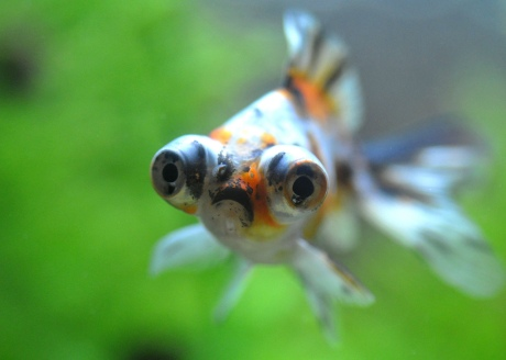 Macro view of Globe-eyed Goldfish