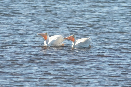 Pair of White Pelicans at Bolsa Chica Wetlands