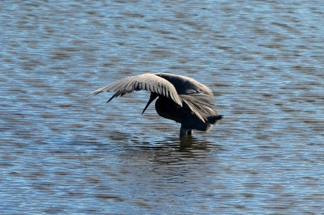 Reddish Egret (Egretta rufuscrens) hunting at Bolsa Chica Wetlands