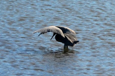 Reddish Egret (Egretta rufuscrens) hunting at Bolsa Chica Wetlands